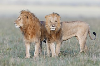 Soul-mates of the Ridge Pride, Mara 2014 | by Olivier DELAERE