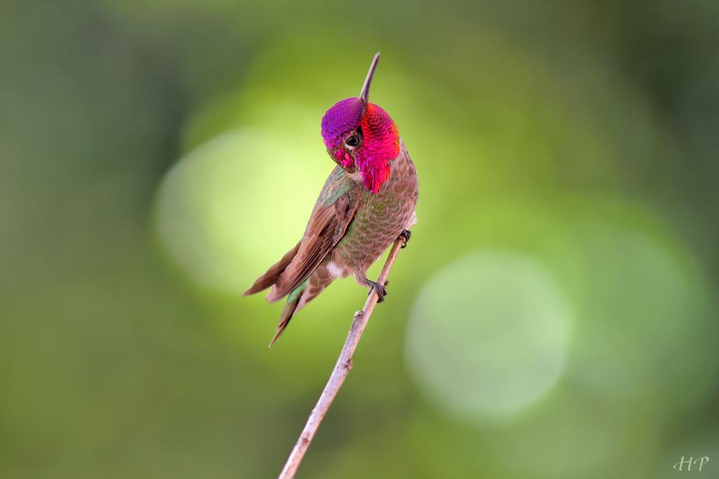 Anna's Hummingbird 010315