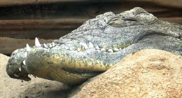 Krokodil blijdorp