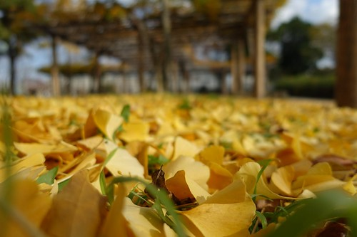 Carpet of fallen leaves of ginkgo in Mejo park No.1. | by HIDE@Verdad