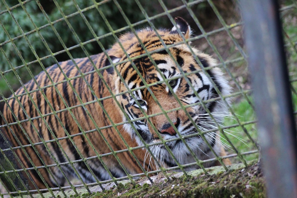 Tiger cage carterg5289 flickr - Tiger in cage images ...
