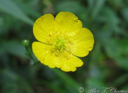 Ranunculus acris (Tall Buttercup)