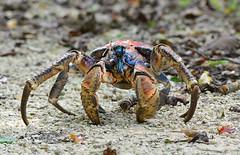 Robber Crab Christmas Island 3