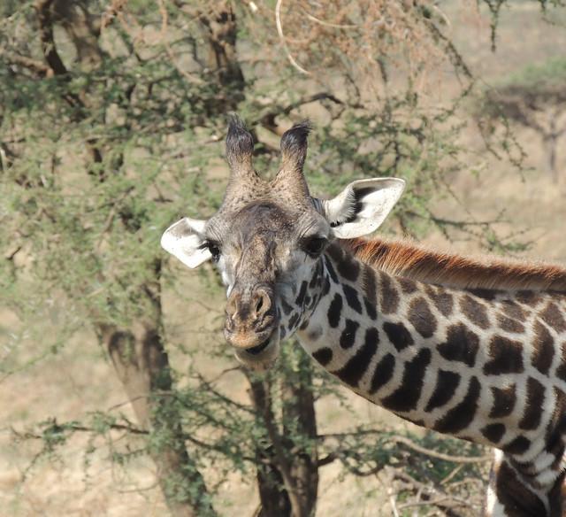 Tanzania Safari, Giraffes