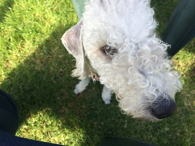 dog sitting bedlington terriers