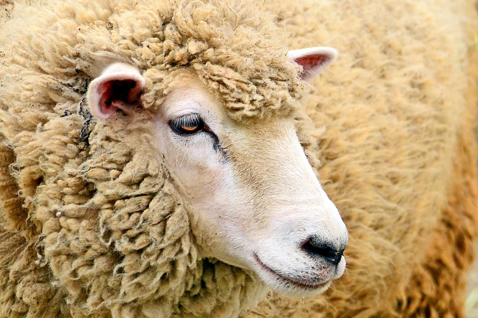 Domestic Sheep(Corriedale) of Kanazawa Zoo : ヒツジ   by Dakiny