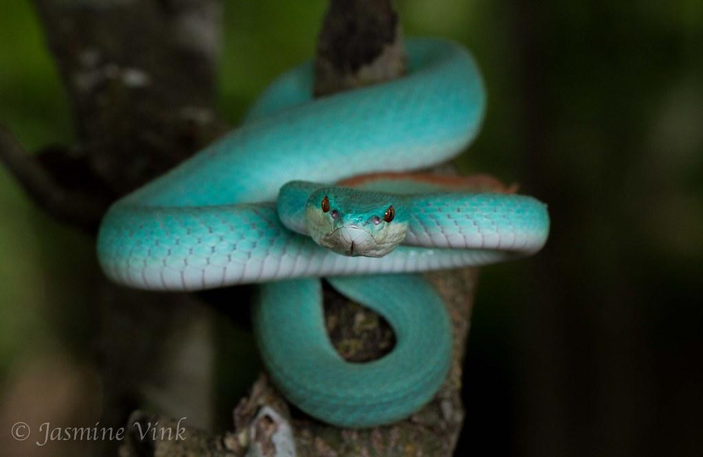 Komodo Island Blue Trimeresuru...