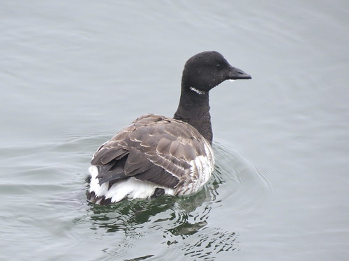 Brant (Atlantic) | by Justin Lee (NoNameKey)