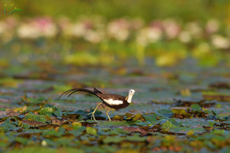 Pheasant-tailed_Jacana_2210