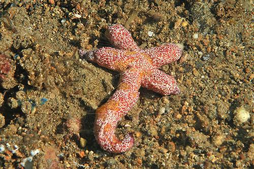 Starfish comb jellyfish Coeloplana astericola