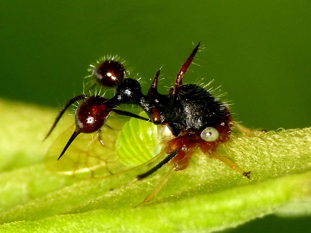 Ant-mimicking treehopper, Cyphonia clavata | more photos ... | 1024 x 767 jpeg 208kB
