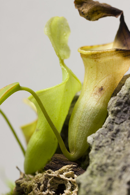 Nepenthes campanulata BE