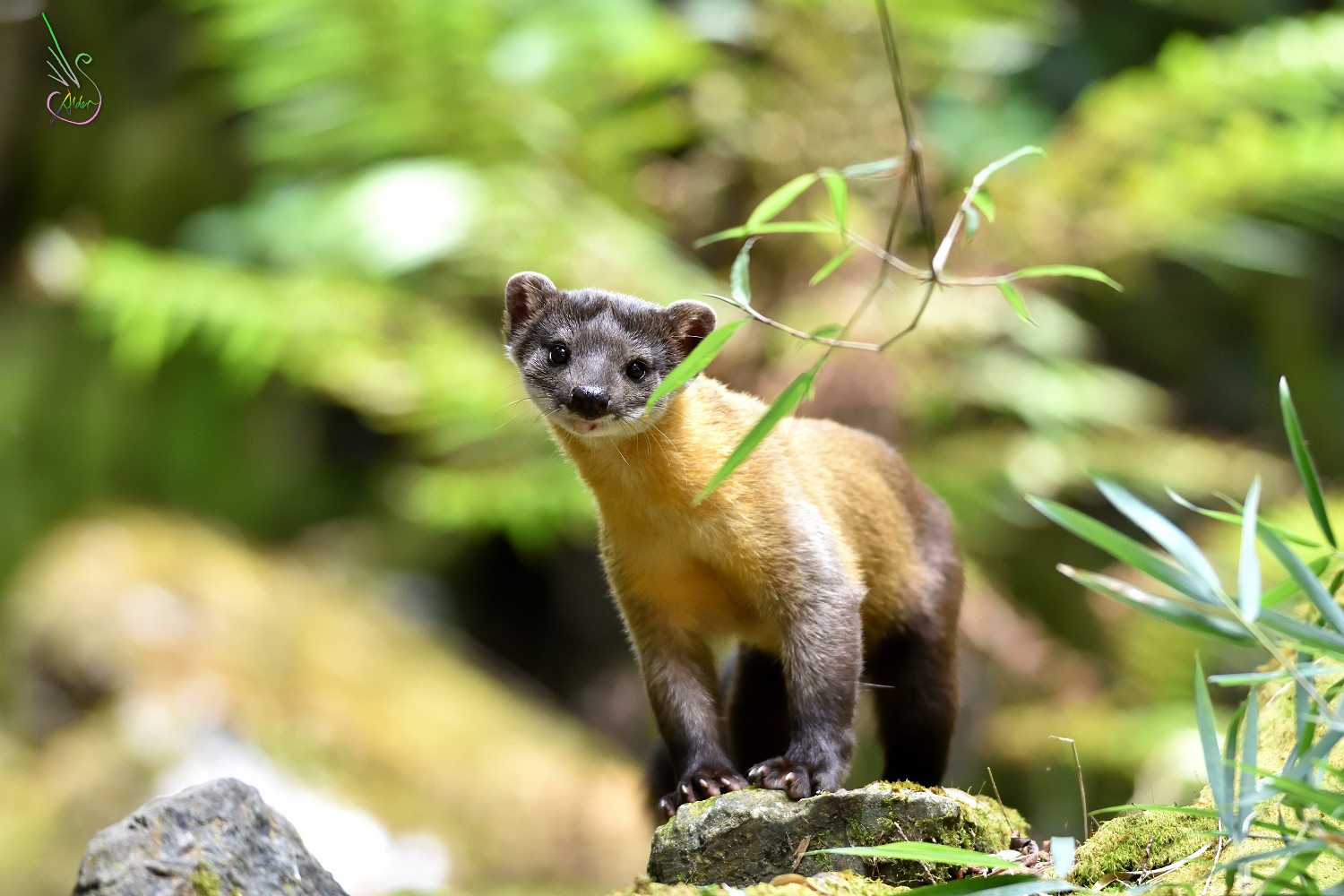 Yellow-throated_Marten_0273