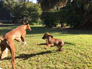 Puppy Tahount playing chase with aunty Taz. | by Brian Reiter