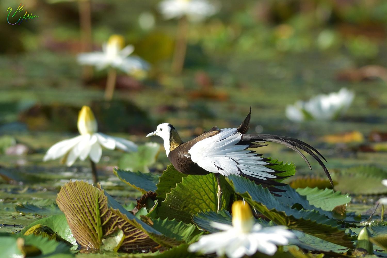 Pheasant-tailed_Jacana_3474