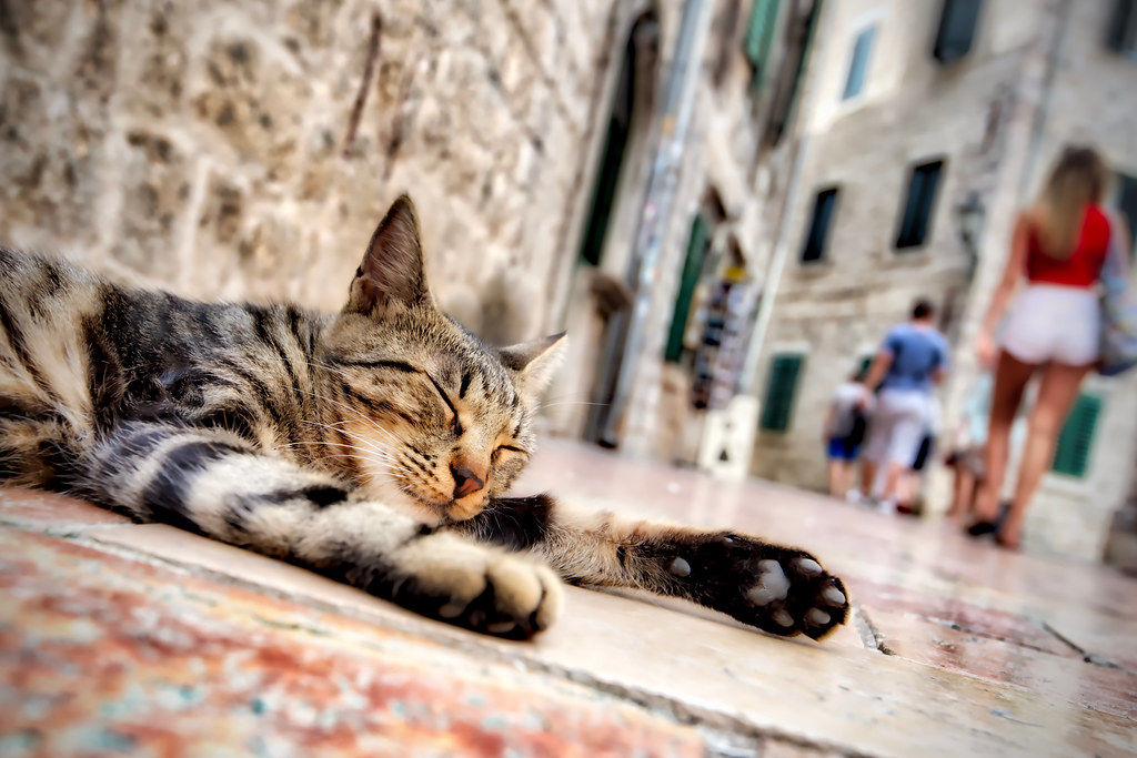 Sleepy Cat in Kotor
