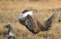 Greater sage-grouse strut