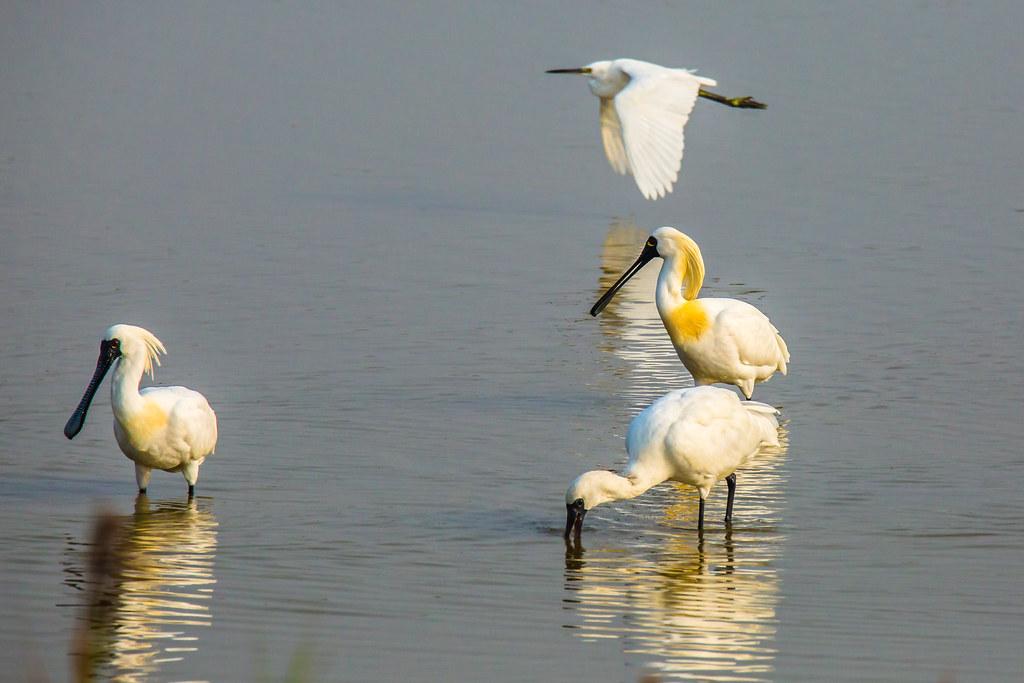 濕地生態帶來的美好風景,美麗的濕地訪客-黑面琵鷺。