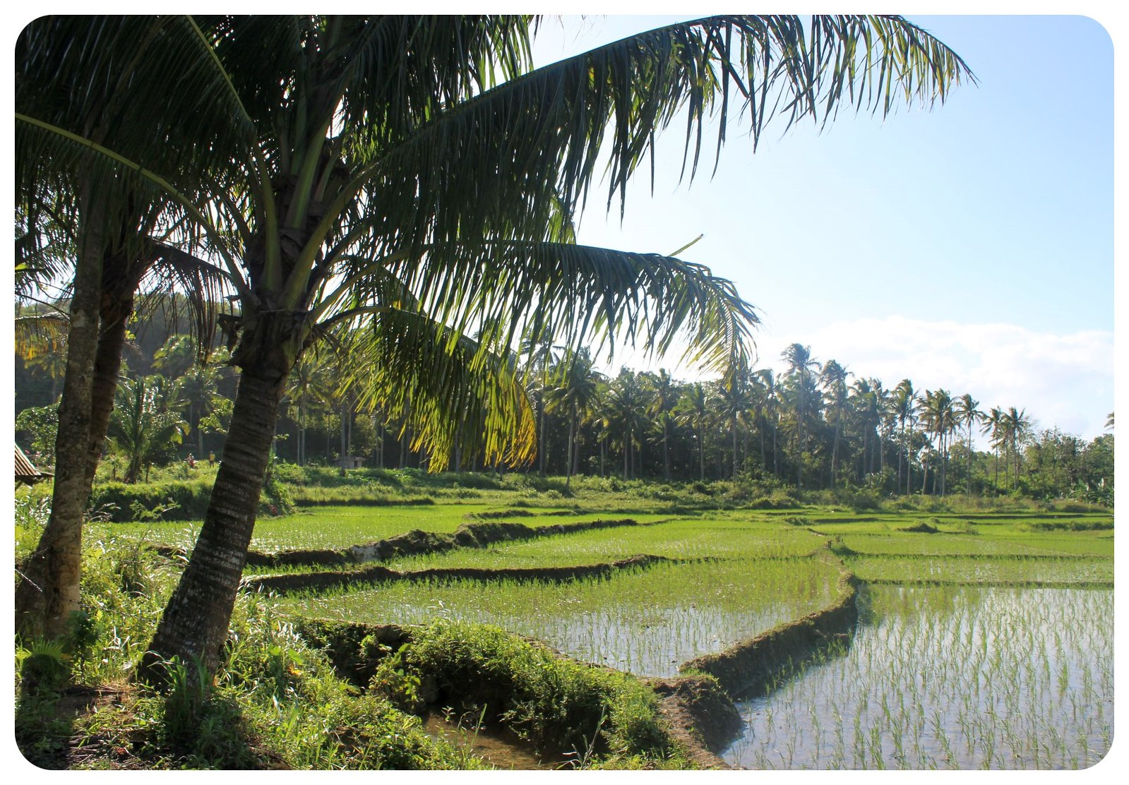 bohol rice fields philippines