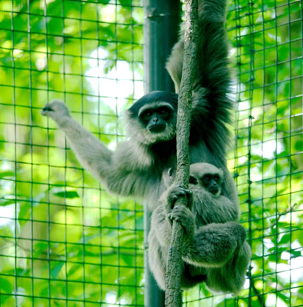 Java Gibbon