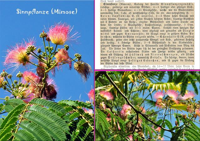 Mimose (Mimosa pudica) / Schamhafte Sinnpflanze im Luisenpark Mannheim - Mimosenblüte im Juli - Altes Kräuterbuch - Fotos und Collagen: Brigitte Stolle 2016