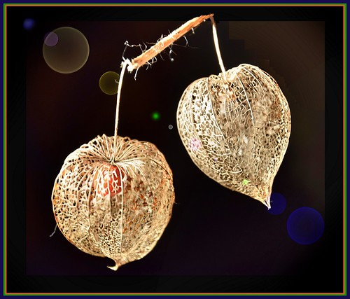 lampionblume physalis alkekengi fr chte mejxu flickr. Black Bedroom Furniture Sets. Home Design Ideas