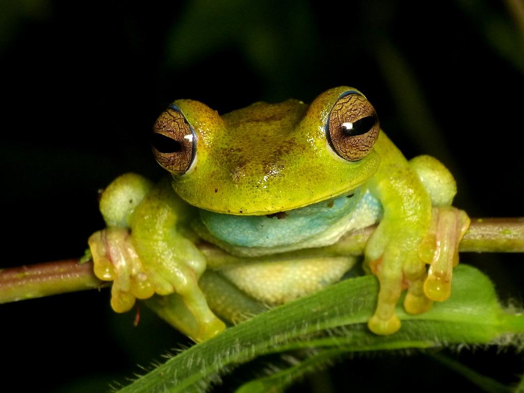 Palmar Treefrog, Hypsiboas pellucens