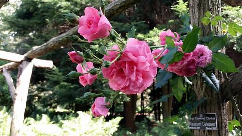 rose 39 rosarium uetersen 39 climbs the arbor in the rose gard. Black Bedroom Furniture Sets. Home Design Ideas
