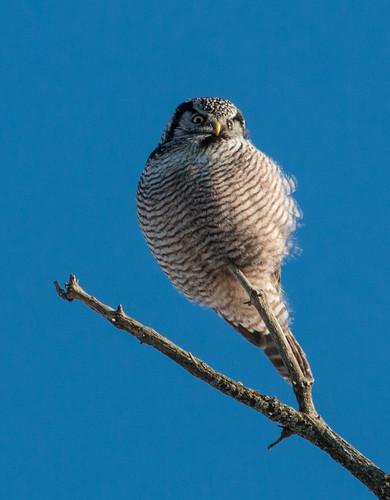 Superb Owl Sunday Northern Hawk Owl