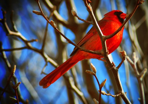 Cardinal 1 | by bariatricgirl