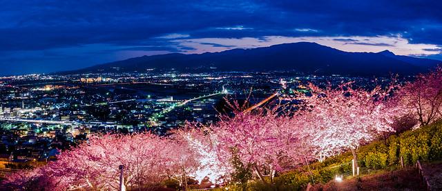 夜桜 Yozakura