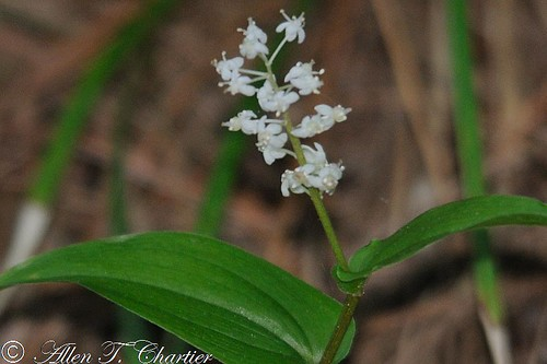 Maianthemum canadense (Canada Mayflower)