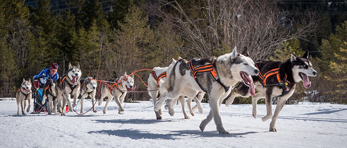 Damon in front - Sled Dogs in Wallgau Bavaria | by ラルフ - Ralf RKLFoto