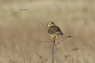 Short-eared Owl | by featherweight2009