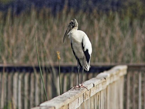 Wood Stork 20150203