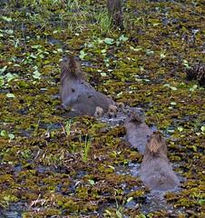 Capybara with Young, South Pantanal, Brazil