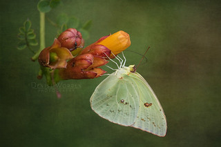Cloudless Sulphur Butterfly | by Denise Worden