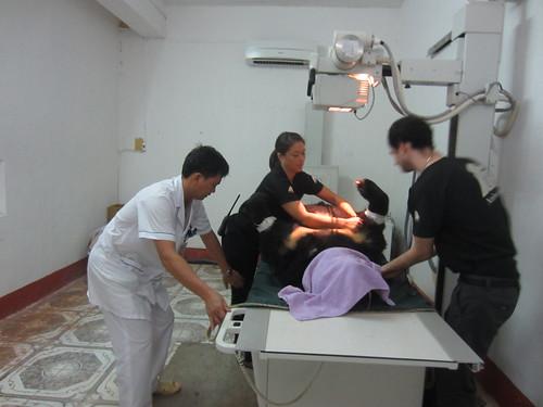 Vietnamese military doctors help AAF vet team position Zebedee for scan 3