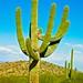 typical SAGUARO cactus