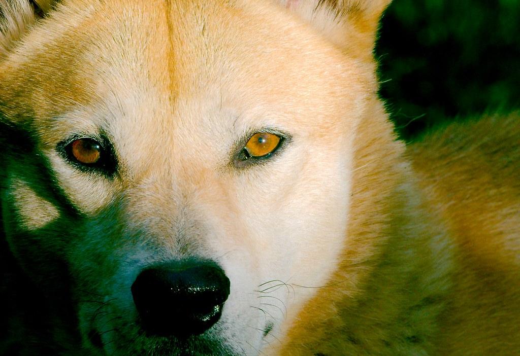 Dingo_4