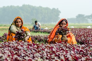Participation of women collecting leafy vegetables | by IFPRI