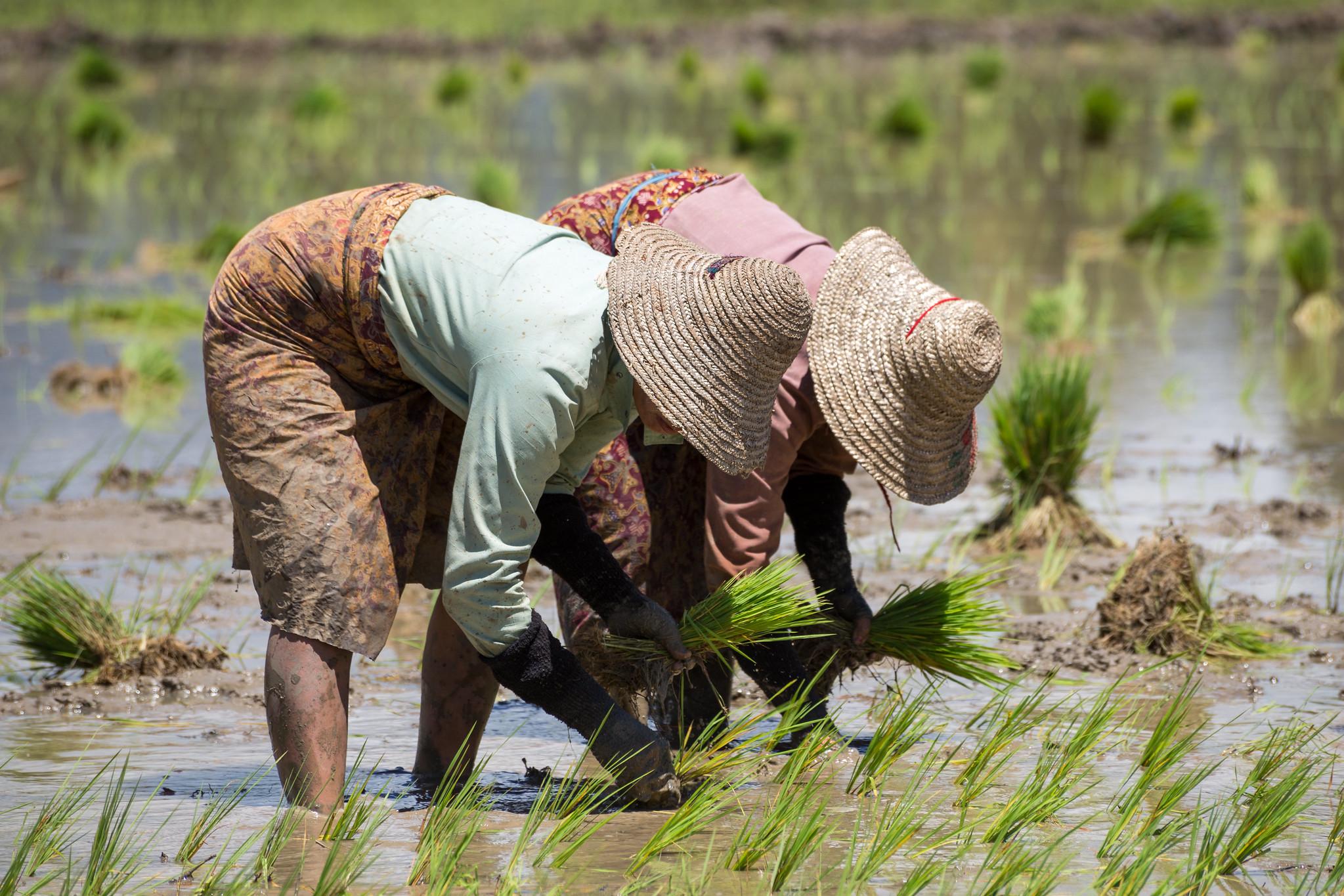 "土地權利不只關乎緬甸的農業生產,也是族群和平的關鍵課題。(攝影:Alex Berger@<a  data-cke-saved-href=""https://www.flickr.com/photos/virtualwayfarer/29799468940/in/photolist-Mph4Vf-LQct7s-Mph5iu-MFer5b-McFe9x-MFetr5-LnvNh7-LnvNGW-MgMhAG-MFewUY-L877xs-MFeuPL-MFevUm-LnvyGG-MRjHZg-MHXEDD-MHXDwZ-LTQCkq-LTSdNa-LTSioc-MFesxb-Mph5Vm-MFewGo-MFexGQ-MFexnS-LTQE2S-LQcsyo-LXhi6a-KW7oe2-Lrzgx5-LrzdDE-KW7oQ2-LHufgy-KVUm3d-LT51zX-KVUHSf-MbzvNb-M2nwjW-KW7evR-KW7d1M-LHtZTL-L86Z8C-LrzFBN-LCK5wS-LCK43E-LUEJVb-MCwsZF-MCwsmM-LXhfAR-LCK7NA"" href=""https://www.flickr.com/photos/virtualwayfarer/29799468940/in/photolist-Mph4Vf-LQct7s-Mph5iu-MFer5b-McFe9x-MFetr5-LnvNh7-LnvNGW-MgMhAG-MFewUY-L877xs-MFeuPL-MFevUm-LnvyGG-MRjHZg-MHXEDD-MHXDwZ-LTQCkq-LTSdNa-LTSioc-MFesxb-Mph5Vm-MFewGo-MFexGQ-MFexnS-LTQE2S-LQcsyo-LXhi6a-KW7oe2-Lrzgx5-LrzdDE-KW7oQ2-LHufgy-KVUm3d-LT51zX-KVUHSf-MbzvNb-M2nwjW-KW7evR-KW7d1M-LHtZTL-L86Z8C-LrzFBN-LCK5wS-LCK43E-LUEJVb-MCwsZF-MCwsmM-LXhfAR-LCK7NA"">Flickr</a>)"