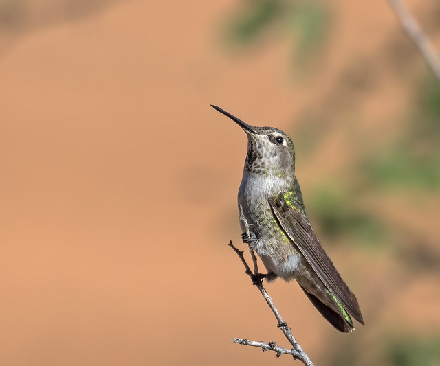Black-chinned-Hummer-4-7D2-100916