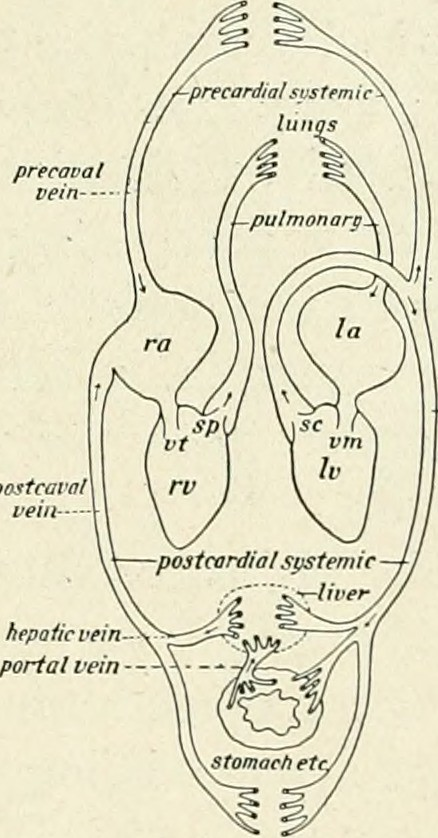 Image From Page 92 Of Practical Anatomy Of The Rabbit A Flickr