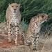 Leopard Panthera Namibia Mariental