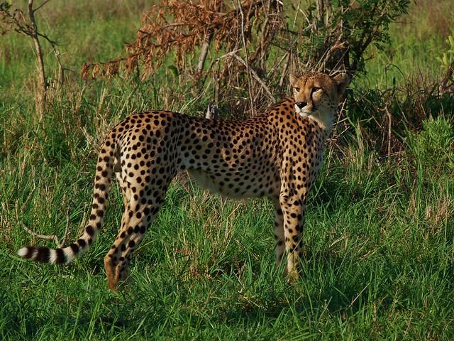 Guepardo visto de safari en el sur de África