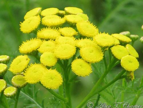 Tanacetum vulgare (Common Tansy)