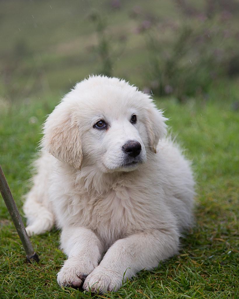 Le patou chiot 1 petit patou vieux de 3 mois chien gard flickr - Image bebe chien ...