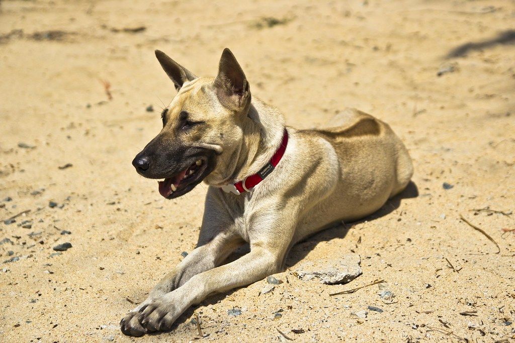 Phu Quoc Ridgeback Dog Phu Quoc Ridgeback Dogs Are A