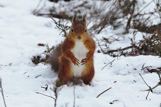 Red Squirrel in snow | by galanthophile